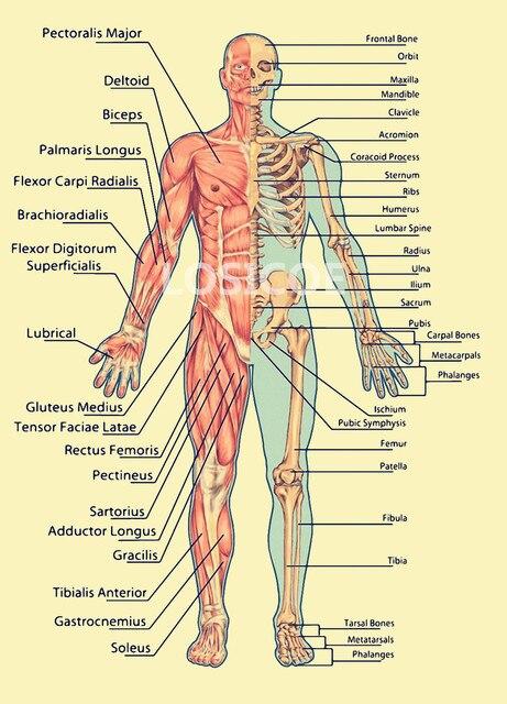Músculo cráneo medicina Anatomía Humana vintage posters papel Kraft ...