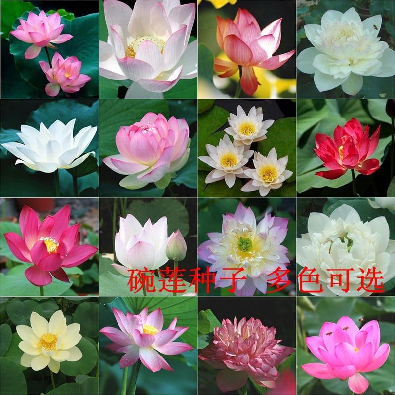 10 seedspack Hydrophyte Nelumbo Nucifera Seeds Hydroponic Flowers Bowl Lotus Seeds