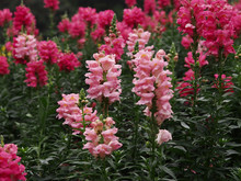 Potted plant Common snapdragon flower seeds mix color flowers Garden Home Bonsai Planting 100pcs/bag