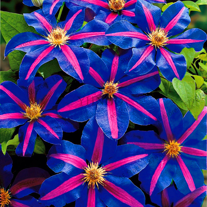 Us 0 29 62 Off 100 Clematis Bonsai Montana Mayleen Garden Pink Vine Flowers Plant Flores Vines Climbing Plants Twining Scan On