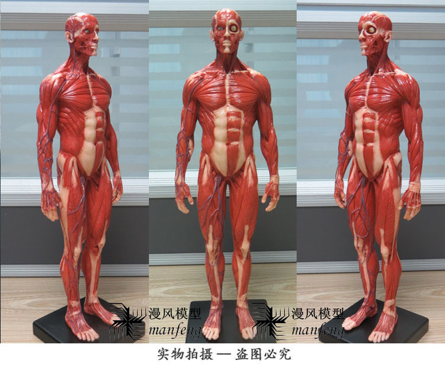 aliexpress : buy male 1:6 anatomy fig v.3 superficial muscle, Skeleton