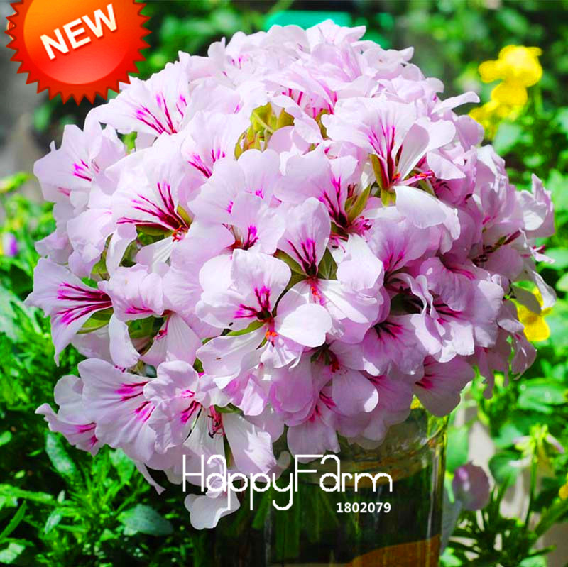 Hot Sale!20 Seed/BLot Geranium Seeds Perennial Flower Seeds Pelargonium Peltatum Seeds, 17 Colors Available,#1CXLRE