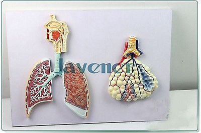 Human Anatomical Human Respiratory System Anatomy Medical Model Lung 1 1 human anatomical respiratory system heart lung organ medical teach model school hospital