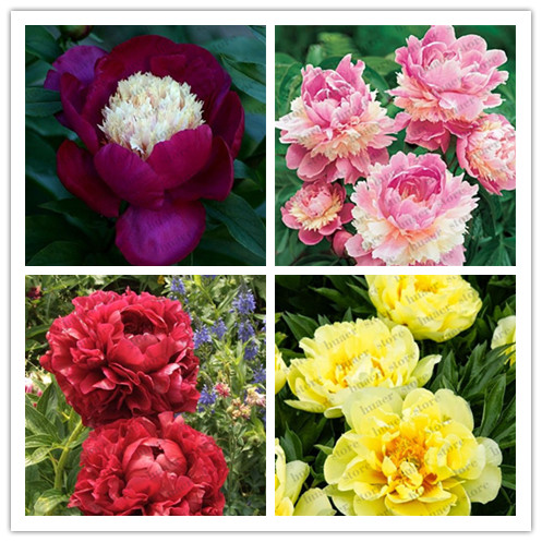 10pcs Rare Bonsai Peony Tree Perennial Garden Flower Bonsais Potted Plants