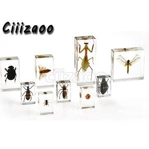 Image 2 - Wzór rozwoju żaby przycisk do papieru kolekcja taksydermy osadzona w przezroczystym bloku Lucite osadzanie próbki