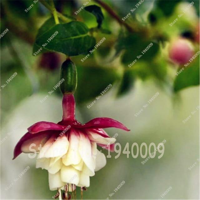 150 pz Lanterna Fiori Bonsai, Per Il Giardino di Casa, Fucsie Piantina, Fiori In Vaso, Fiore Campana, lanterna Begonia, Colore Misto