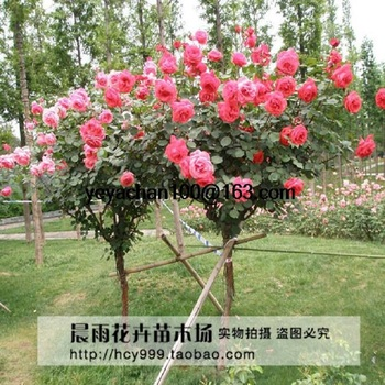 best rose tree buy online