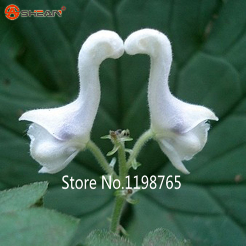 100 particles new arrival swan flowers seeds chinese characteristics 100 particles new arrival swan flowers seeds chinese characteristics rare flower ebay mightylinksfo
