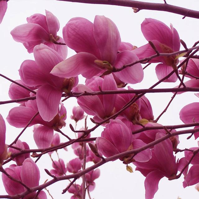 Hot Sale Pink Magnolia Seeds, 10pcs/pack