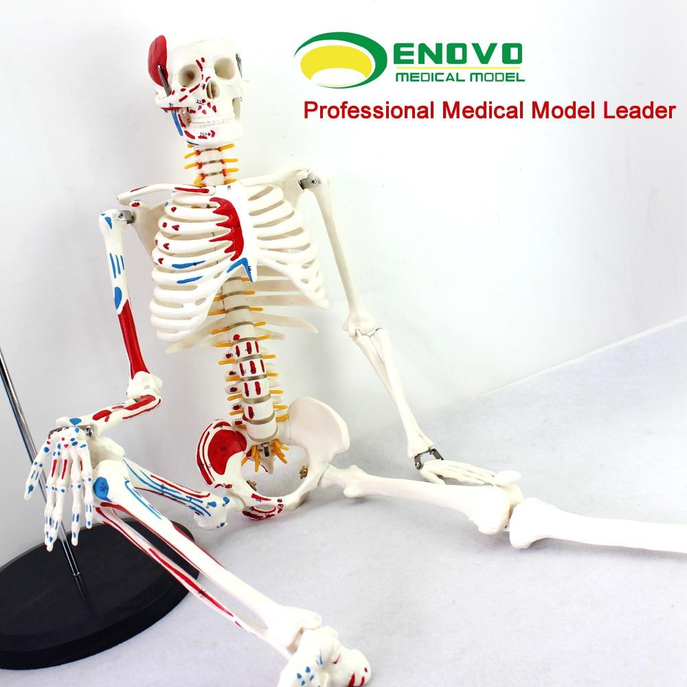 ENOVO Autentico Deluxe 85 CM Manichino Umano Modello con Midollo spinale Modello di Medico Scheletro modello di Insegnamento Medico