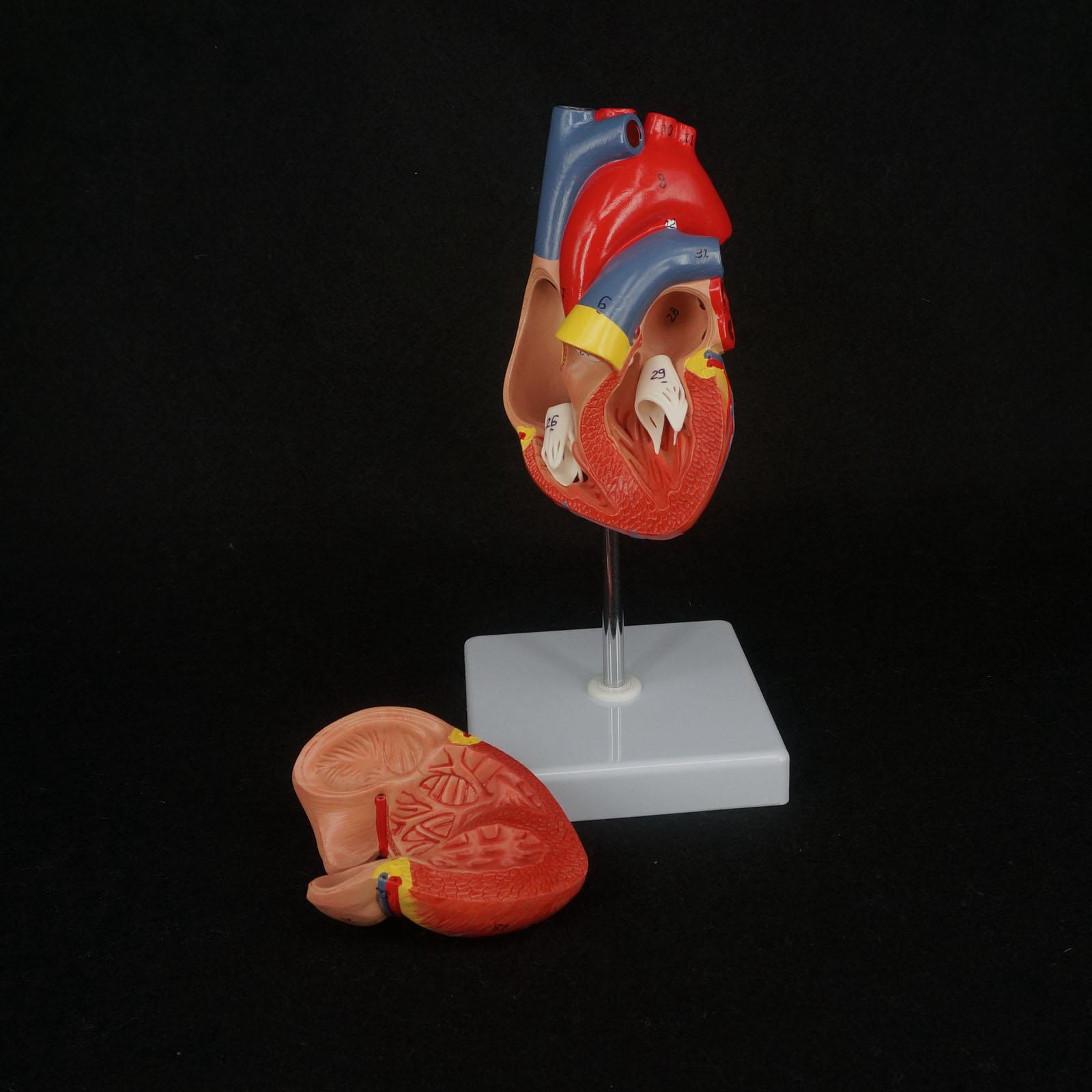 2 Part Life Size Human Heart Anatomy Model Mounted on White Base ...