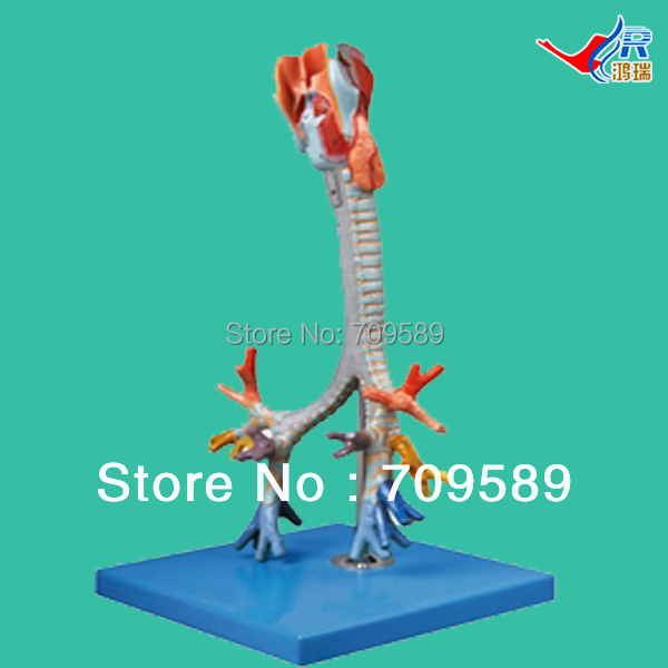 ISO Anatomical Larynx, trachea and bronchial tree model larynx with toungue and teeth model anatomical larynx model