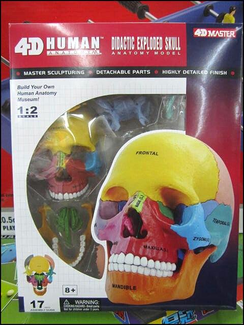 Mestre 4D colorfull crânio anatômico do cérebro Humano conjunto ...