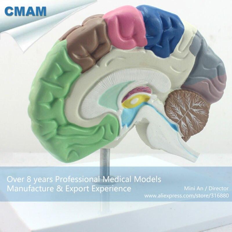 12407 CMAM BRAIN09 Menschlichen Modell von Funktionellen Gehirn ...