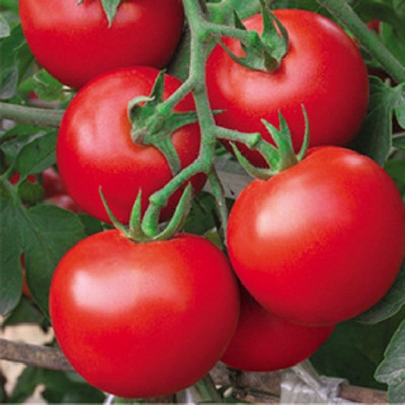 Verse rode tomatenbonsai Van 200 pcs gezonde plantaardige bonsai