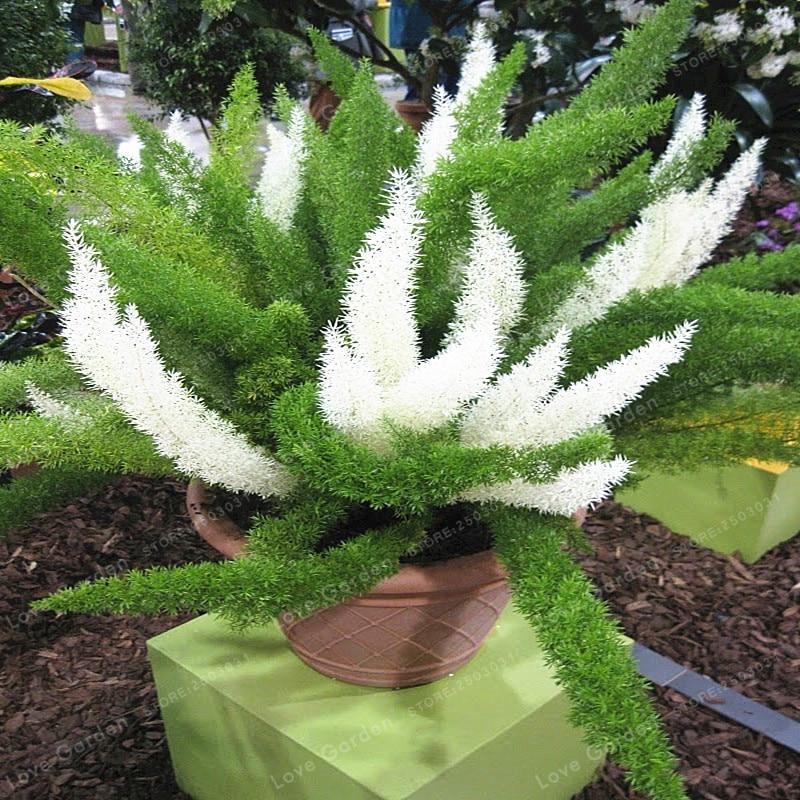 100 Pcs Wu Bamboo Foxtail Bonsai Garden  Bonsai Aspragus Densiflorus Bonsai Plants A Rare Ornamental Plant For Indoor Potted