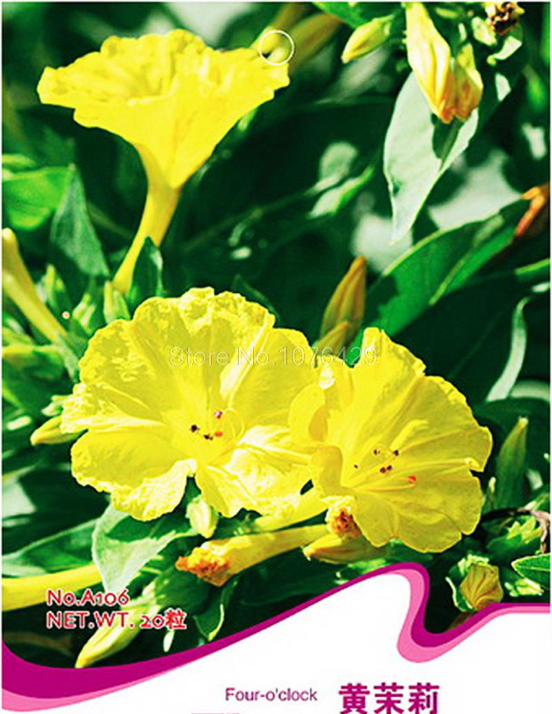 Yellow Four Oclock Seeds Mirabilis Jalapa Flower Garden Plants A106
