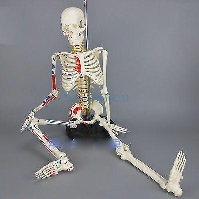 85CM Human Muscular Skeleton Model Muscle Painted Numbered Anatomical Skeleton Model Medical Learn Aid bix a1004 85cm human spinal nerves skeleton model g119