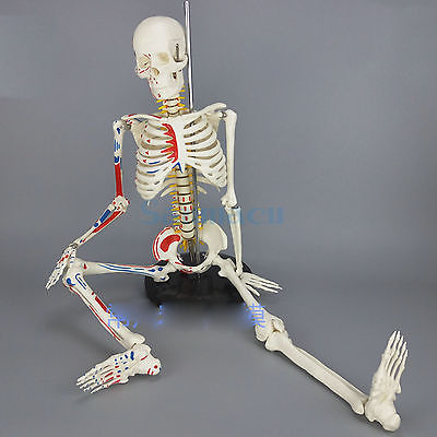 85CM Human Muscular Skeleton Model Muscle Painted Unnumbered Anatomical Skeleton Model Medical Learn Aid human larynx model advanced anatomical larynx model