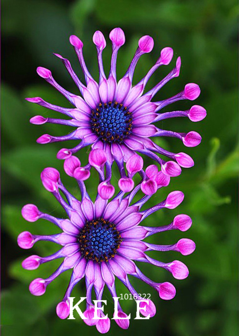 Big Sale5 Color Available Osteospermum Bonsai Potted Flowering