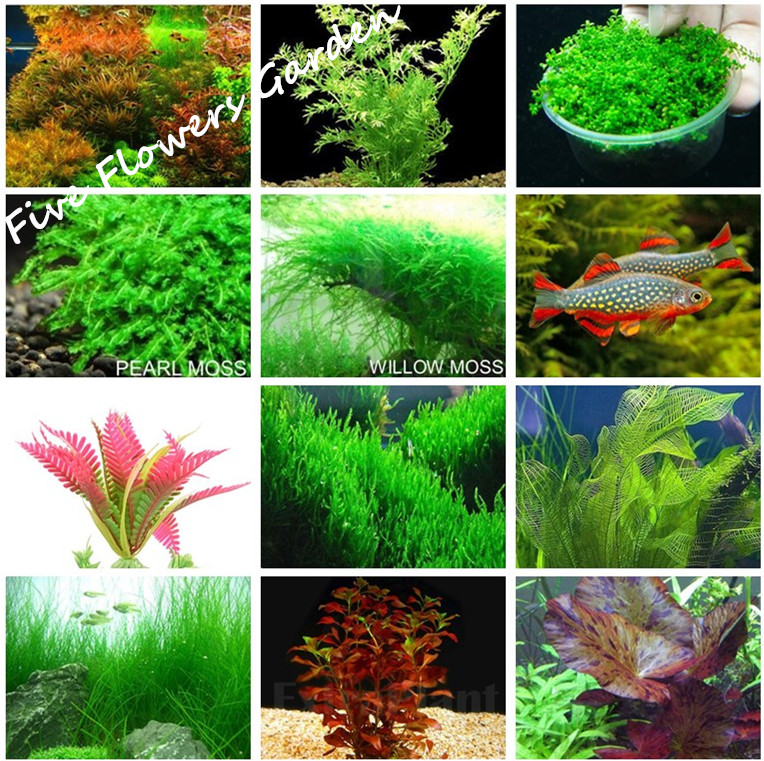 1000 pcs aquarium grass seeds water aquatic plant seeds for Growing plants in water with fish