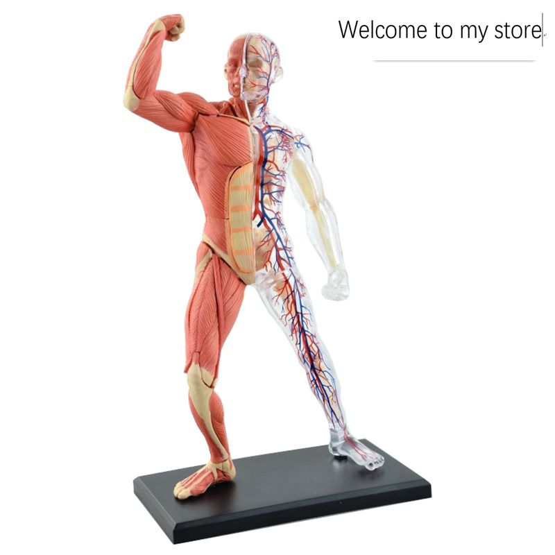 Anatomía montar todo el cuerpo transparente esqueleto vascular 1:6 ...