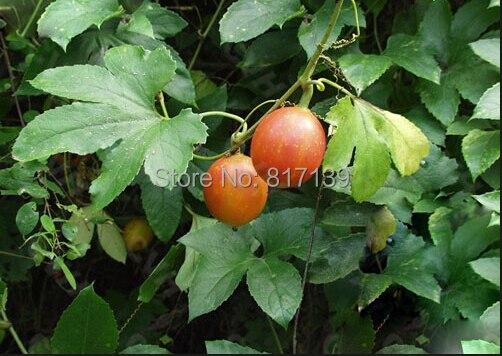 Lục Bát Hoa ĐV - Page 31 New-Home-Garden-Plant-4-Seeds-Trichosanthes-kirilowii-Snake-Gourd-Fruit-Seeds-Free-Shipping.jpg_640x640