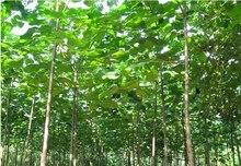 Paulownia Elongata Seeds, 100pcs/pack