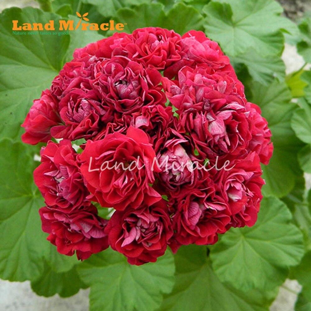 Land Miracle Red Appleblossom Geranium Perennial Flower Seeds 5