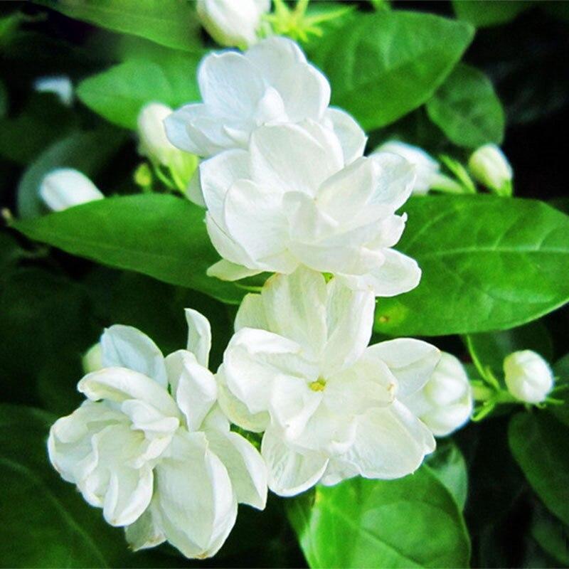 hot sale white jasmine seeds jasmine flower seeds fragrant plant arabian jasmine seeds bonsai potted plants - Flowers