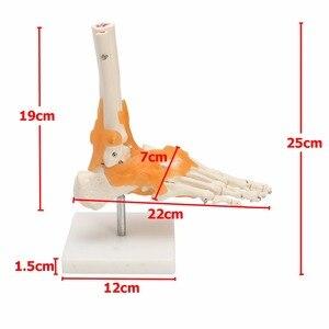 """Image 2 - """"인간의 1:1 해골 인대 발목 관절 해부학 의료 구조 조각상 고품질"""""""