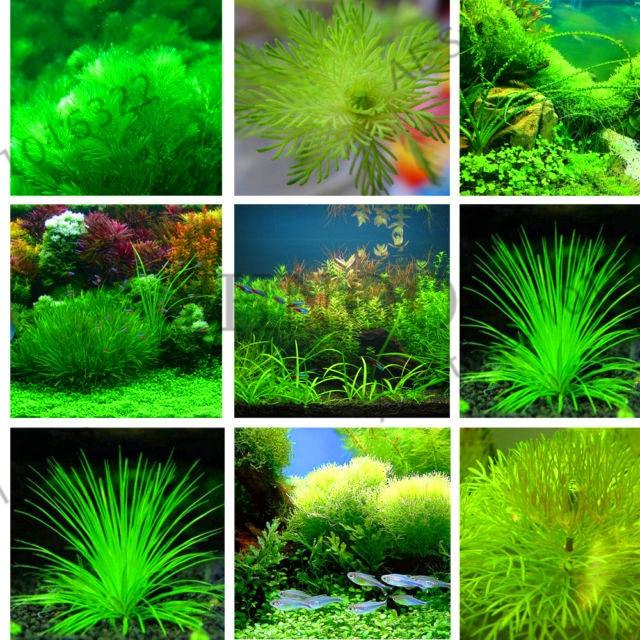 Loss Promotion!500 Pcs / Bag Ceratophyllum bonsai Indoor Beautifying Aquarium Grass Plant garden Fish Tank Decoration Ornamental
