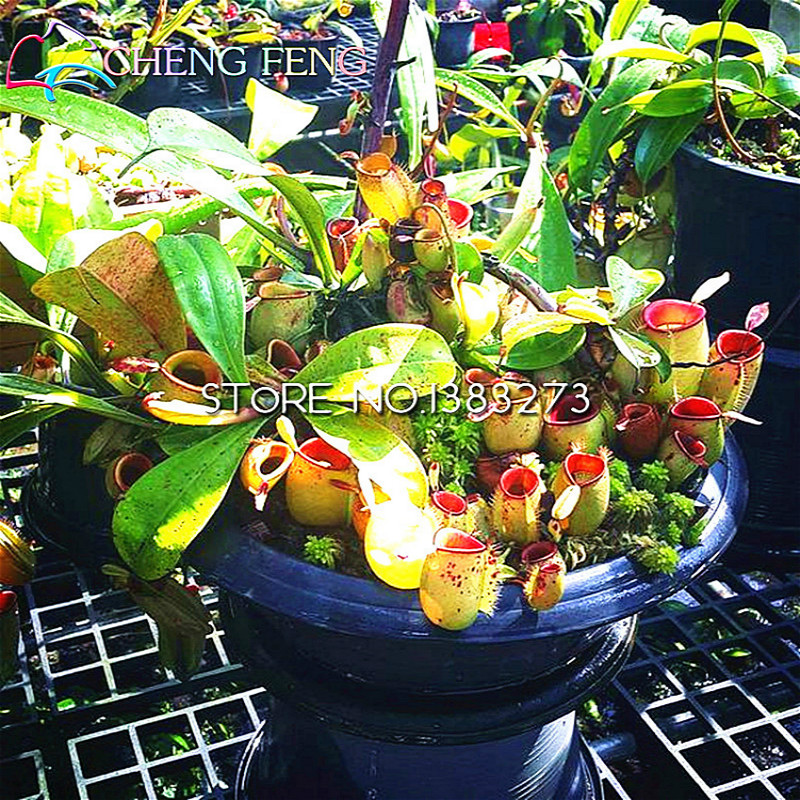 Delightful 50 Particles / Lot Nepenthes Seeds Flower Herbs Carnivorous Plants Purify  The Air Garden Plants Gift Indoor / Outdoor Pot Seed