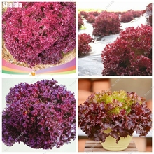 100 pcs Purple Buttercrunch Lettuce (aka Butter Head Lettuce), Vegetable Seeds, Organic Non-GMO DIY Gardening Rare Flower Seeds