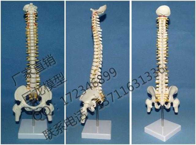 popular human skeleton spine-buy cheap human skeleton spine lots, Skeleton
