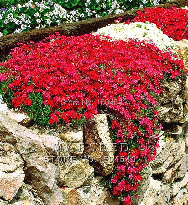 Marseed 50 Pcs Fashion Bright Red Rare Flower Plants Perennial