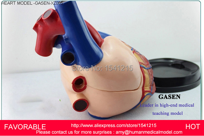 HEART ANATOMY VISCERA MEDICAL MODEL,MODEL OF CARDIAC CARDIAC ANATOMY CARDIOVASCULAR MODEL OF HEART,HUMA HEART MODEL-GASEN-XZ005 anatomy of a disappearance