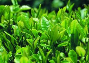 100g Polifenoles extracto de Té Verde 98%
