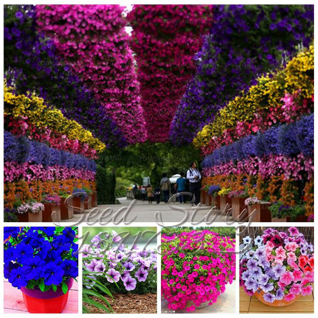100pcs Hanging Petunia Mixed bonsai Color Waves Beautiful Flowers for Garden Plantas for Home Decoration Free Shipping