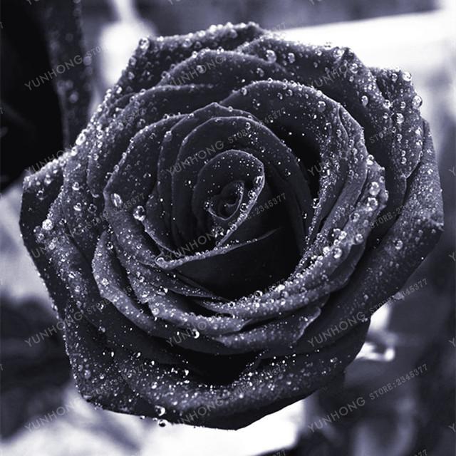 100 Pcs Rare Rose Bonsai Black Rose Flower With Red Edge Rare Rose Flowers Bonsai For Garden Bonsai Planting