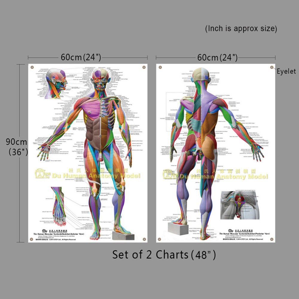 Human Anatomical Wall Chart Large,Muscular System Skeleton Ecorche ...