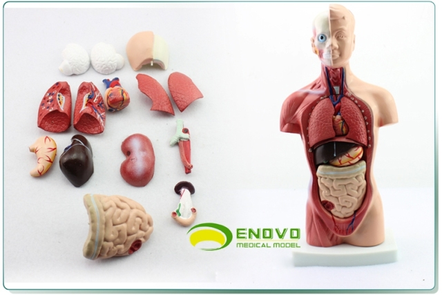 Model 26cm Body Trunk Model Anatomical Organ Model Of Human Body