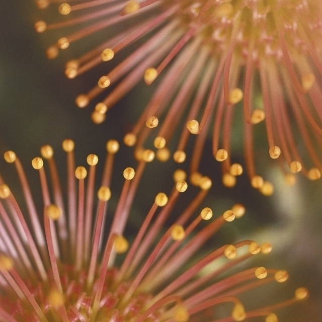 Hawaii  Maui  Extreme Close-Up Yellow Pin Cushion Protea Detail Of Plant Blossoms Poster Print (24 x 38)