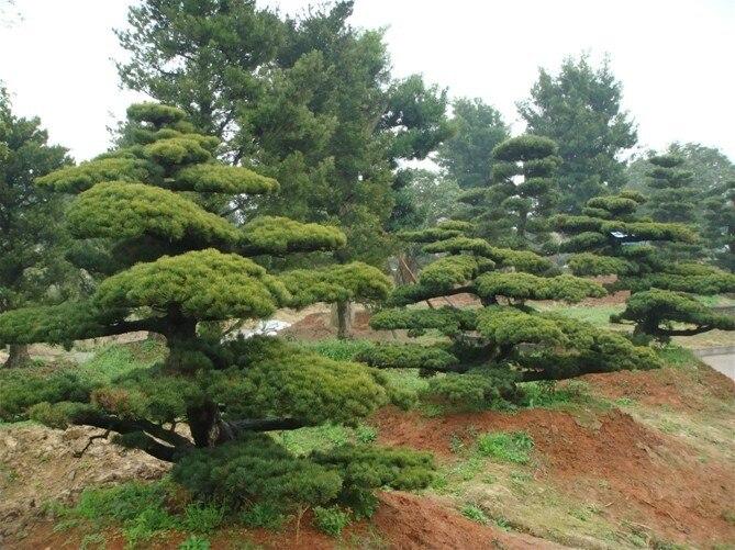 online kaufen großhandel kiefer bonsai baum aus china kiefer, Best garten ideen