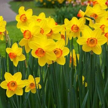 1 pcs Narcisos Lâmpadas (não narcisos) Bonsai de Plantas Aquáticas Double Narcisos flor Pétalas de Rosa, Grandes Lâmpadas