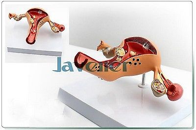 Gynecology Anatomical Female Reproductive Organ Anatomy Medical Pathology Model колье element47 by jv 29010