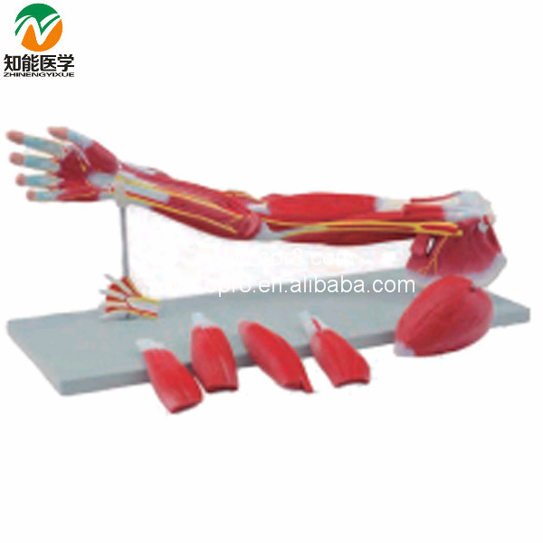 Upper Limbs Anatomical Model Muscle Anatomy Model Chinon BIX-A1033 WBW041 bix y1005 standard anatomical acupuncture model 60cm