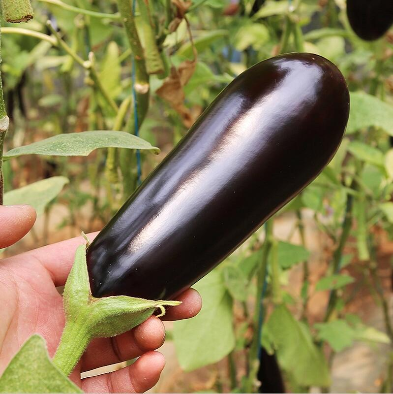 100 Heirloom Black Beauty Eggplant Seeds Organic Vegetable NON GMO outdoor plant Vegetable Seeds Home Garden DIY Free Shipping