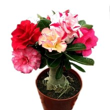 Hot Sale 5 pcs desert rose rare flower indoor bonsai Purifying Air Adenium Obesum garden flowers The Germination Rate 95%(China)