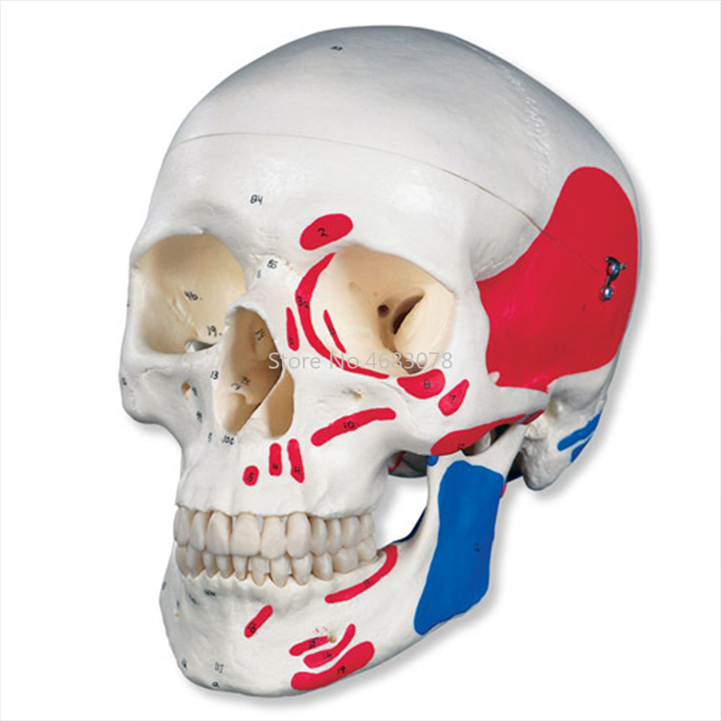 Human Anatomical Anatomy Colored Head Skeleton Skull Teaching Model Detachable School Educational Human Head,Skull ModelHuman Anatomical Anatomy Colored Head Skeleton Skull Teaching Model Detachable School Educational Human Head,Skull Model